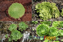"Aeonium Collection ""Canariensae"""