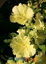 Alcea rugosa (Yellow Russian Hollyhock)