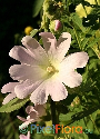 Alcea pallida (Pale Rose Hollyhock)