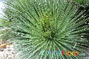 Agave stricta (Hedgehog Agave)