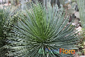 Agave striata ssp. striata (Narrow-leaf Agave or Espadillo)