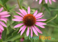 Echinacea purpurea (Eastern Purple Coneflowers)