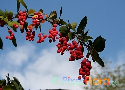 Berberis amurensis (Amur Barberry)