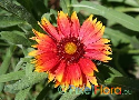 Gaillardia aristata (Common Blanket Flower)