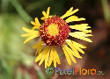 Gaillardia pinnatifida (Red Dome Blanket Flower)