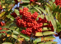 Sorbus decora (Showy Mountain Ash)