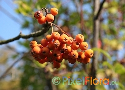 Sorbus discolor (Chinese Mountain Ash)