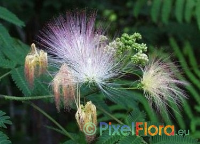 Albizia julibrissin (Winter Hardy Silk Tree)