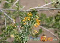 Medicago arborea (Moon Trefoil Shrub)