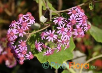 Pericallis malvifolia Exclusive