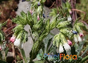 Onosma albo-rosea Exclusive