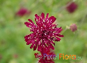 Knautia macedonica (Macedonian Pincushion Flower)