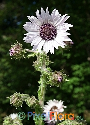 Berkheya purpurea (South African Purple Thistle)