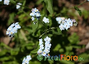 Myosotis latifolia (Canary Forget-Me-Not) Exclusive