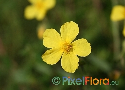 Fumana procumbens (Sprawling Needle Sunrose)