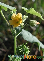 Abutilon theophrasti (Indian Velvet-leaf Mallow)