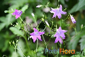 Campanula patula (Meadow Bellflower)