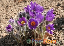 Pulsatilla patens (North American Meadow Pasque Flower)