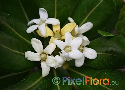 Pittosporum tobira (Japanese Mock Orange)