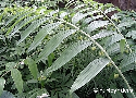 Polygonatum cyrtonema (Chinese Giant Salomon's Seal)