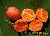 seed package (orange small fruited)