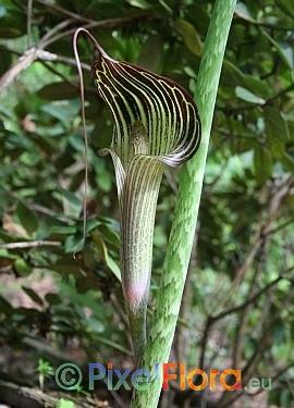 Arisaema consaguineum
