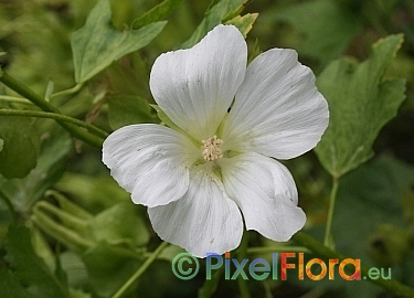 20 MALLOW WHITE MALOPE TRIFIDA FLOWER SEEDS ANNUAL EARLY SPRING BLOOM