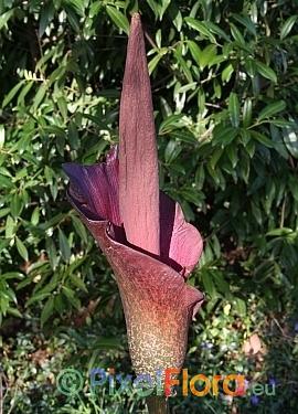 Amorphophallus konjac - inflorescence