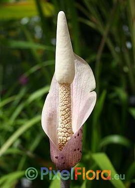 Amorphophallus carneus - inflorescence