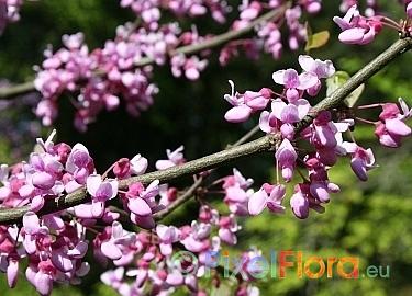 ;Bright pink flowers Eastern redbud Cercis siliquastrum 8 EASTERN REDBUD SEEDS