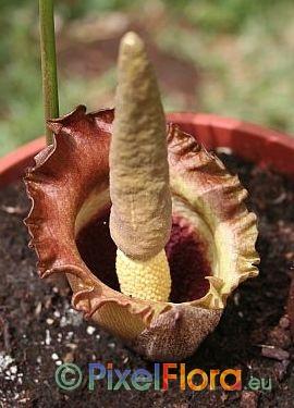 Amorphophallus eichleri - inflorerescence