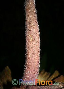 Amorphophallus impressus - spadix appendix