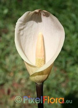 Amorphophallus schmidtiae - inflorescence