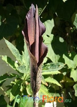 Amorphophallus taurostigma - Blütenstand