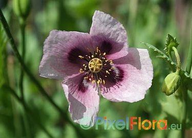 papaver somniferum ssp setigerum wilder opium mohn shop. Black Bedroom Furniture Sets. Home Design Ideas