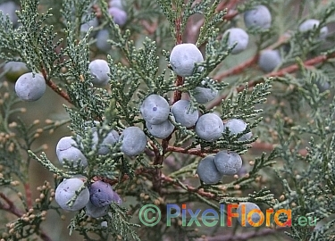 conifer single parents Some have needles as single leaves along the stem or in clusters of two to many needles (pine family—pinaceae)  conifers, as a group,.