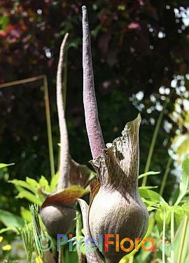 Amorphophallus impressus - inflorescence